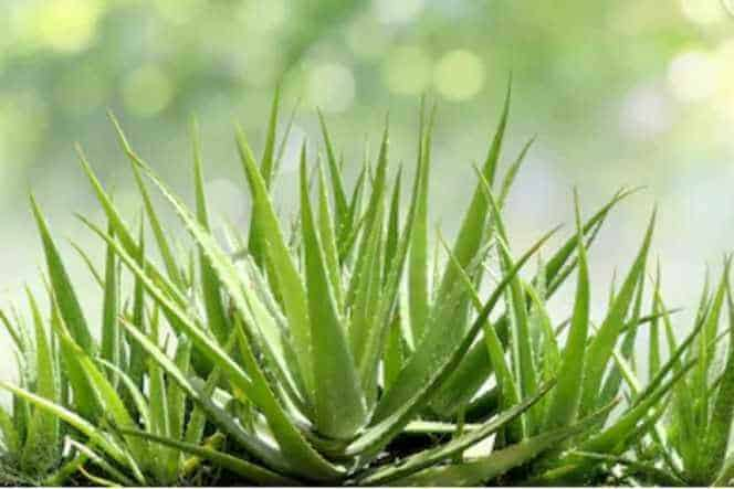 how to choose best aloe vera products